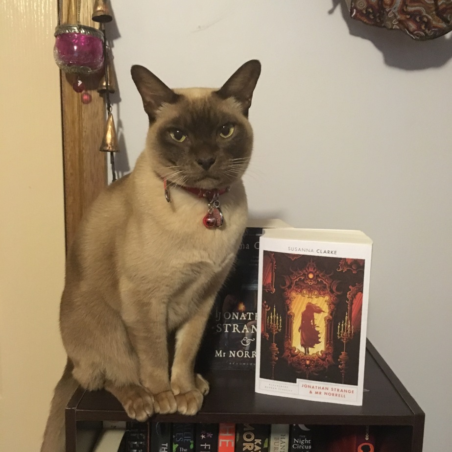 Image Description: Calcifer (a seven year old chocolate Burmese cat) sitting next to a copy of Jonathan Strange and Mr Norrell.